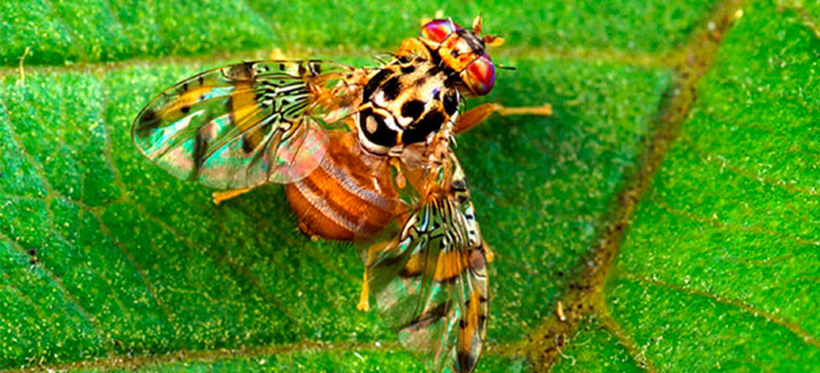 promip manejo integrado de pragas controle biologico empresa biotecnologia vender moscas transgenicas brasil final (1)
