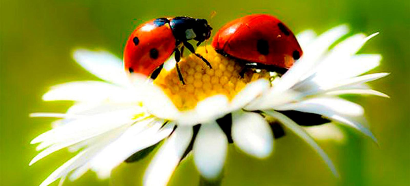 promip manejo integrado de pragas controle biologico paris distribui larvas de joaninha para combater pragas jardins