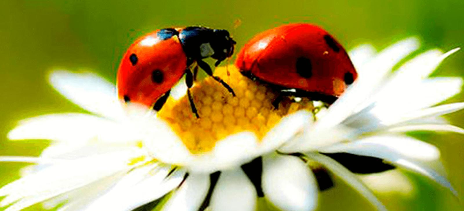 Paris distribui larvas de joaninha para combater pragas em jardins