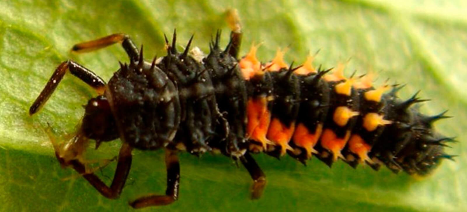 promip manejo integrado de pragas controle biologico joaninhas na horta protecao eficaz contra pulgoes (5)