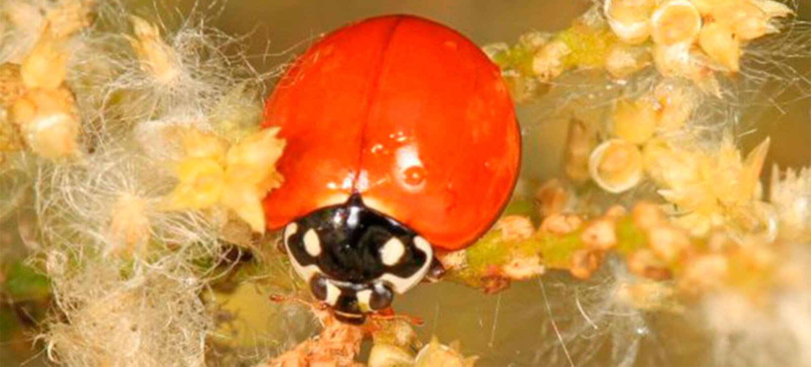 promip manejo integrado de pragas controle biologico joaninhas na horta protecao eficaz contra pulgoes (7)