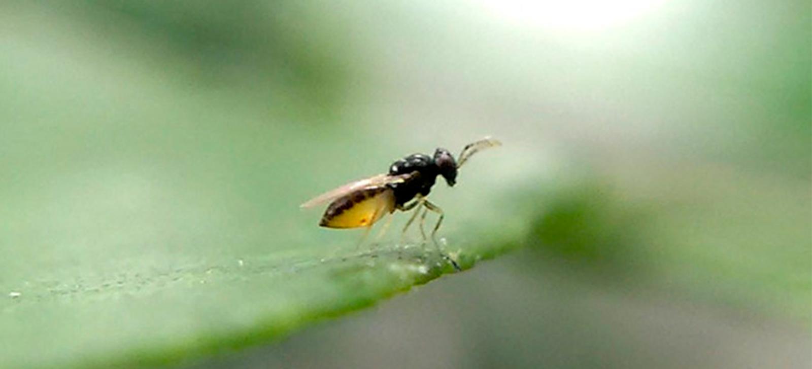 promip manejo integrado de pragas controle biologico blog lapar cooperativas doencas laranjas biologico (4)