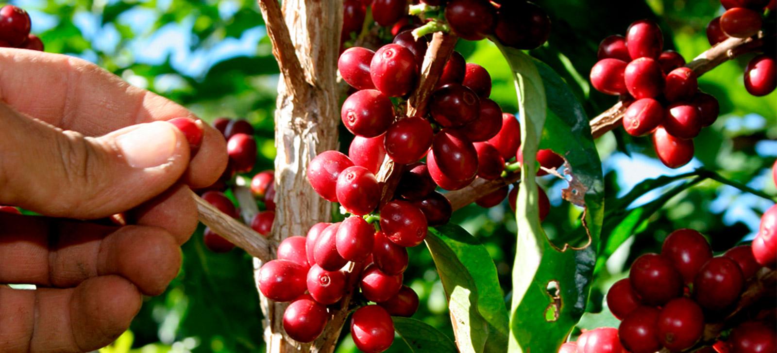 BROCA-DO-CAFÉ: SAIBA COMO FAZER O MONITORAMENTO CORRETO DA PRAGA