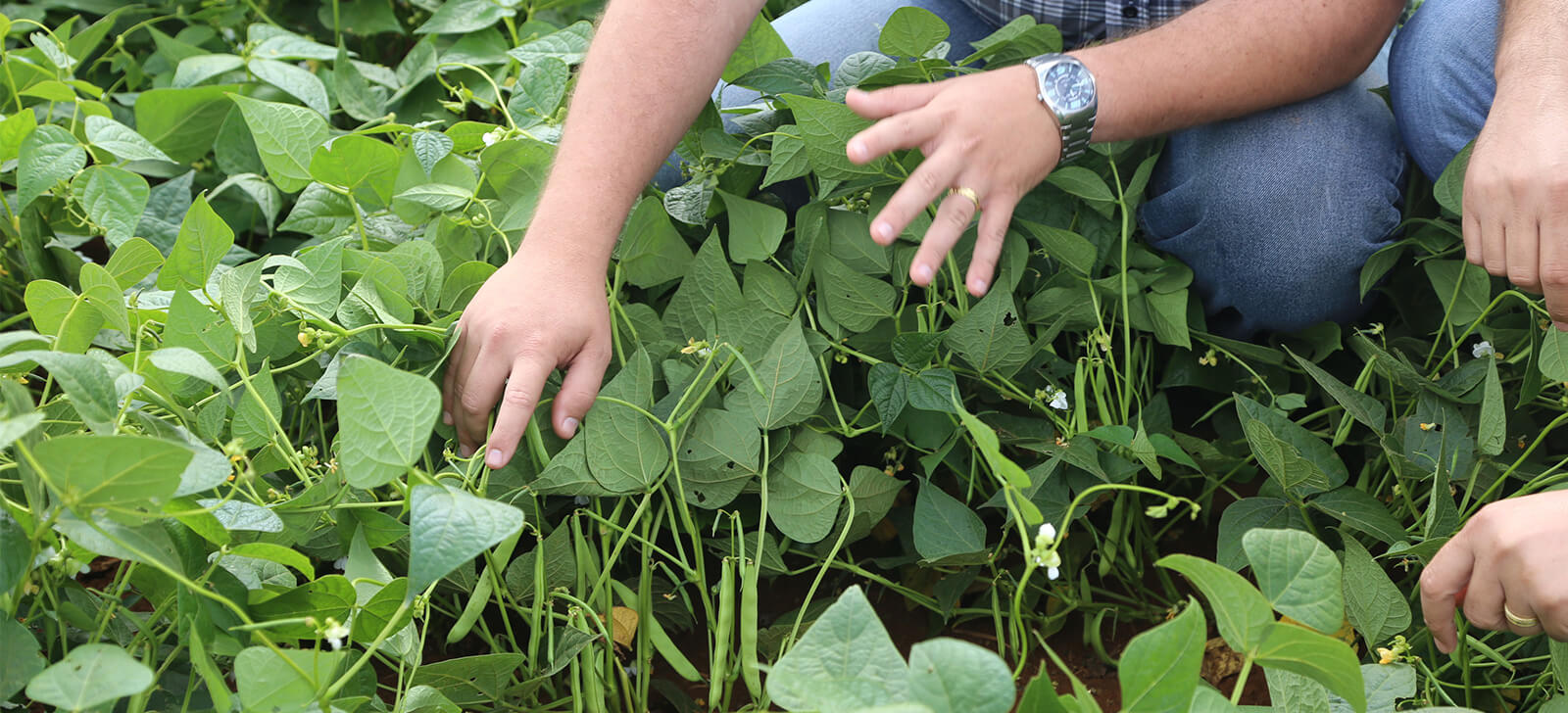 Controle biológico reduz custos de produção em até 15%