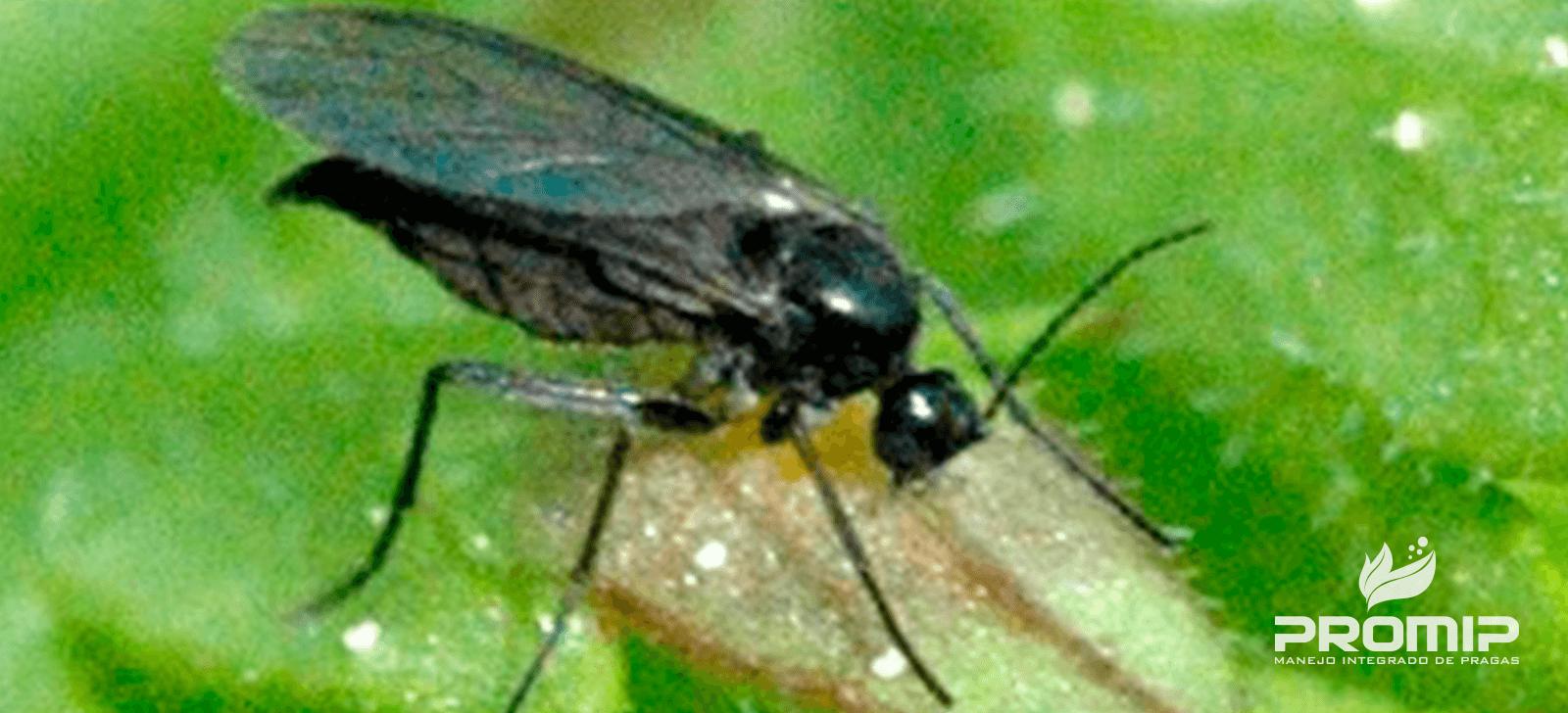 promip manejo integrado de pragas controle biologico adulto fungus gnats mosca sciariade