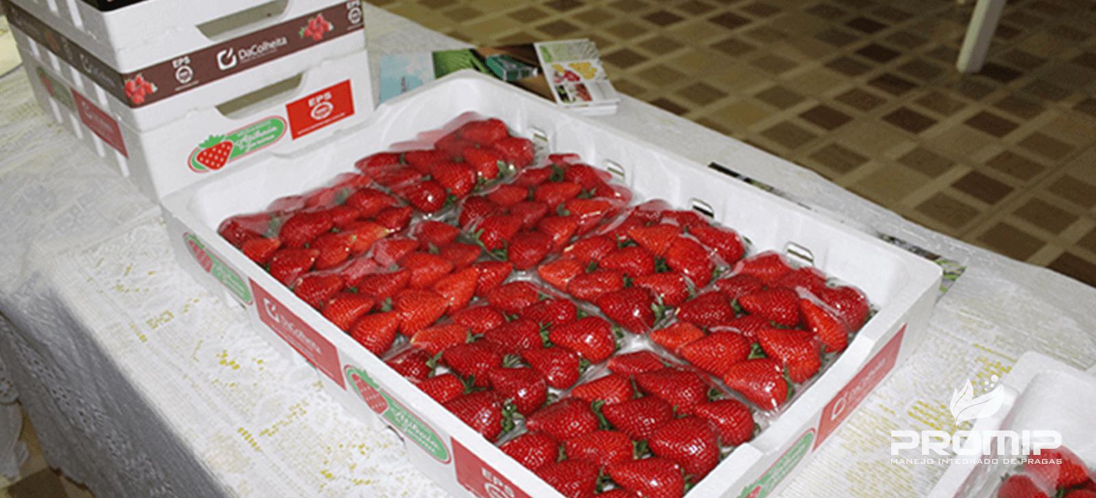 Inovações Promip são apresentadas para produtores de morango no Sul de Minas Gerais