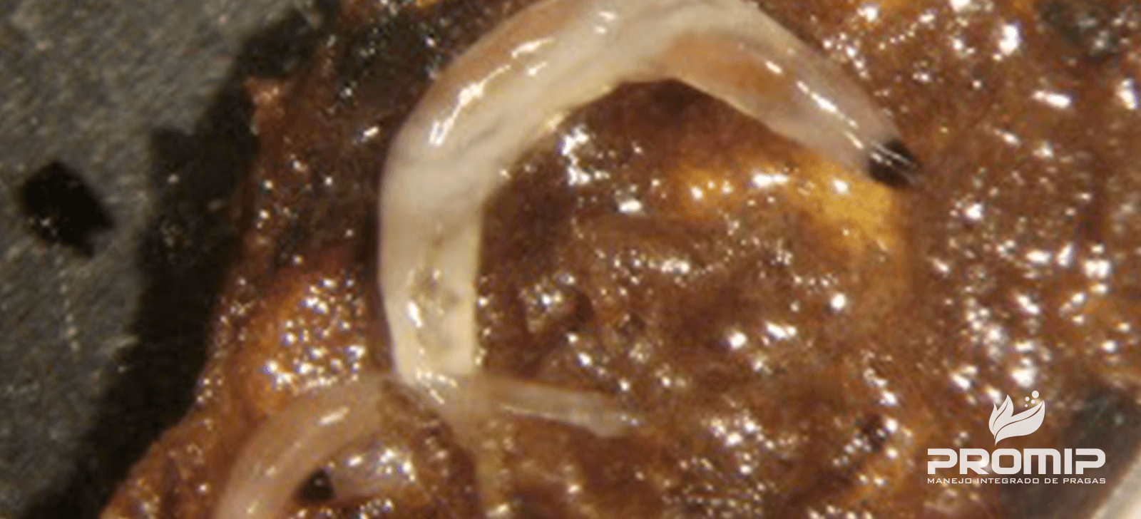 promip manejo integrado de pragas controle biologico larva fungus gnats