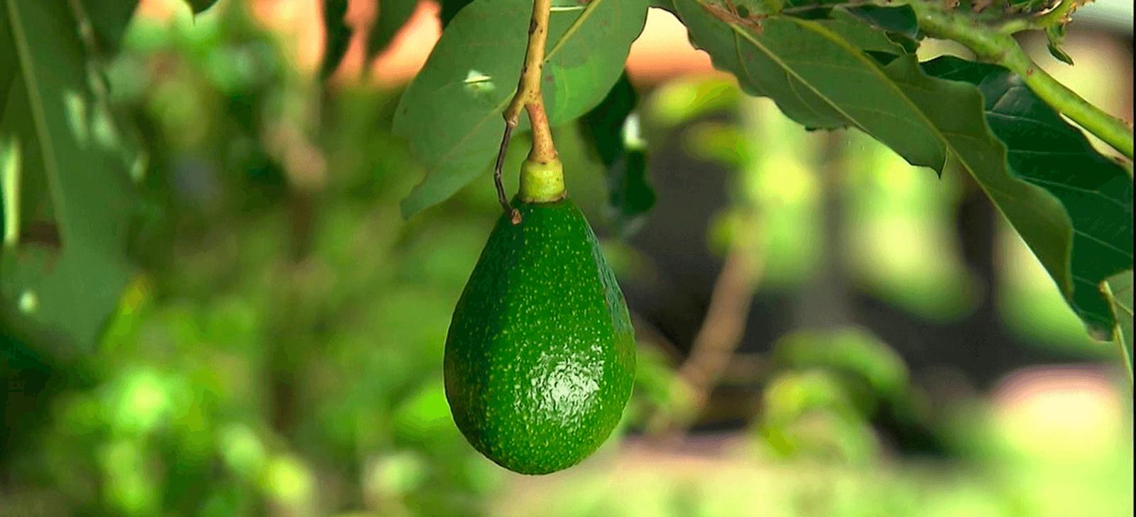 Treinamento controle biológico e alta produtividade para abacateiro