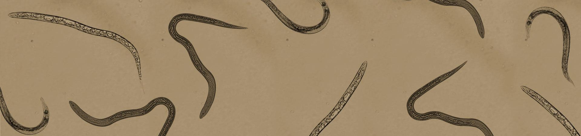 Nematoide-das-galhas: uma grande ameaça à horticultura