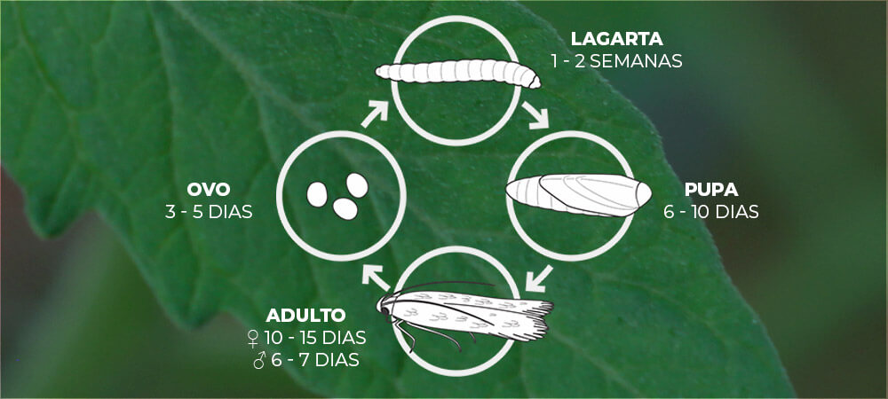 promip manejo integrado pragas controle biologico mip experience artigo tuta absoluta ciclo