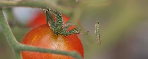 promip manejo integrado pragas controle biologico mip experience artigo tuta absoluta comportamento