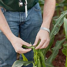 promip manejo integrado pragas controle biologico mip experience artigo Spodoptera frugiperda monitoramento 1 mobile