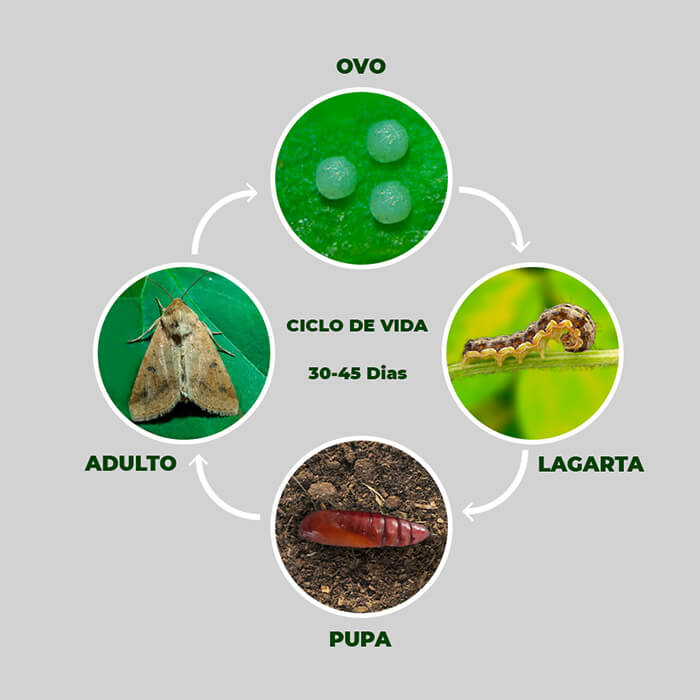 promip manejo integrado pragas controle biologico mip experience artigo lagartas desfoladoras brocadoras ciclo