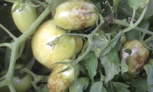 promip manejo integrado pragas controle biologico mip experience artigo tripes danos tomate