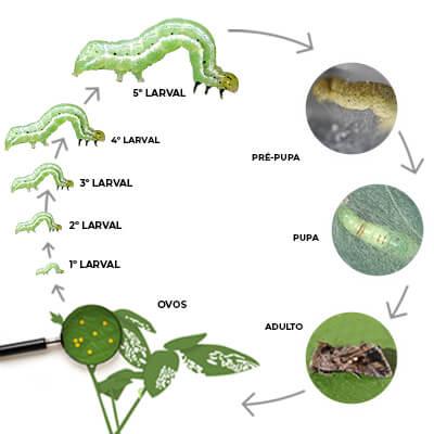 promip manejo integrado pragas controle biologico mip experience artigo lagarta falsa medideira ciclo completo mobile