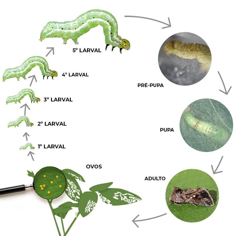 promip manejo integrado pragas controle biologico mip experience artigo lagarta falsa medideira ciclo completo
