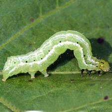 promip manejo integrado pragas controle biologico mip experience artigo lagarta falsa medideira ciclo lagarta mobile
