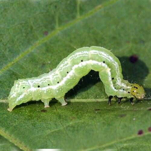 promip manejo integrado pragas controle biologico mip experience artigo lagarta falsa medideira ciclo lagarta