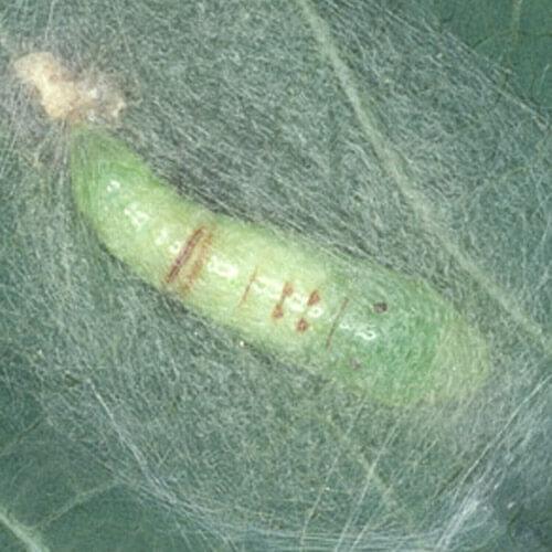 promip manejo integrado pragas controle biologico mip experience artigo lagarta falsa medideira ciclo pulpa