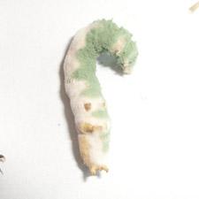 promip manejo integrado pragas controle biologico mip experience artigo lagarta falsa medideira controle biologico Lagartas falsa medideira contaminada entomopatogênicos mobile