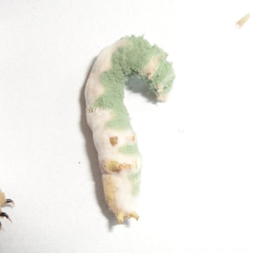promip manejo integrado pragas controle biologico mip experience artigo lagarta falsa medideira controle biologico Lagartas falsa medideira contaminada entomopatogênicos