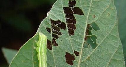 promip manejo integrado pragas controle biologico mip experience artigo lagarta falsa medideira danos soja mobile 02