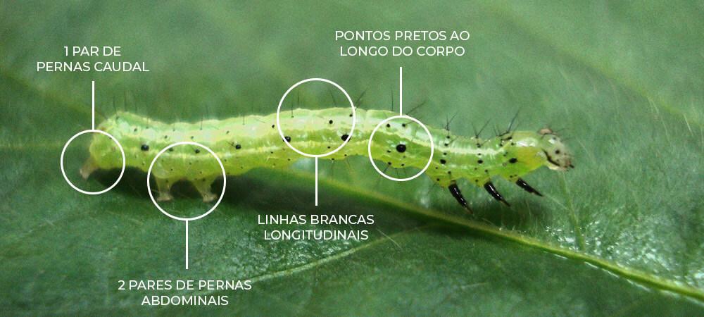promip manejo integrado pragas controle biologico mip experience artigo lagarta falsa medideira identificacao campo
