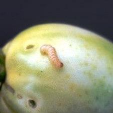 promip manejo integrado pragas controle biologico mip experience artigo lagartas neoleucinodes elegantalis mobile