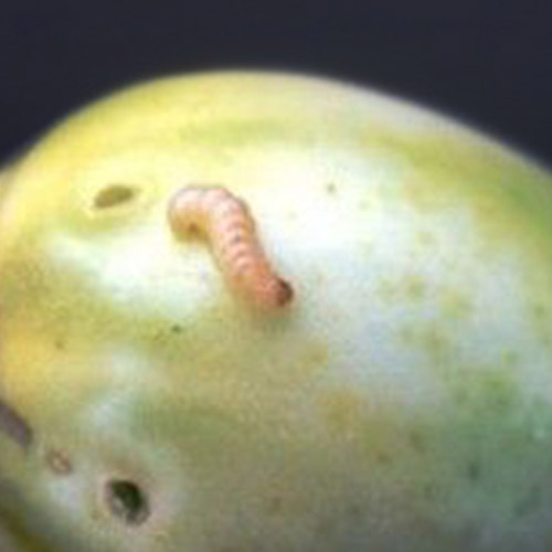 promip manejo integrado pragas controle biologico mip experience artigo lagartas neoleucinodes elegantalis