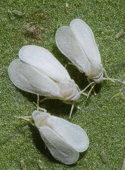 promip manejo integrado pragas controle biologico mip experience artigo mosca branca capa