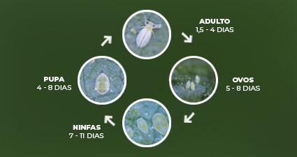 promip manejo integrado pragas controle biologico mip experience artigo mosca branca ciclo mobile