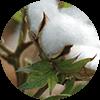 promip manejo integrado pragas controle biologico mip experience artigo mosca branca cultura algodao mobile
