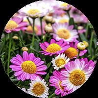 promip manejo integrado pragas controle biologico mip experience artigo mosca branca cultura crisantemo