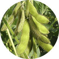 promip manejo integrado pragas controle biologico mip experience artigo mosca branca cultura soja