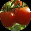 promip manejo integrado pragas controle biologico mip experience artigo mosca branca cultura tomate mobile