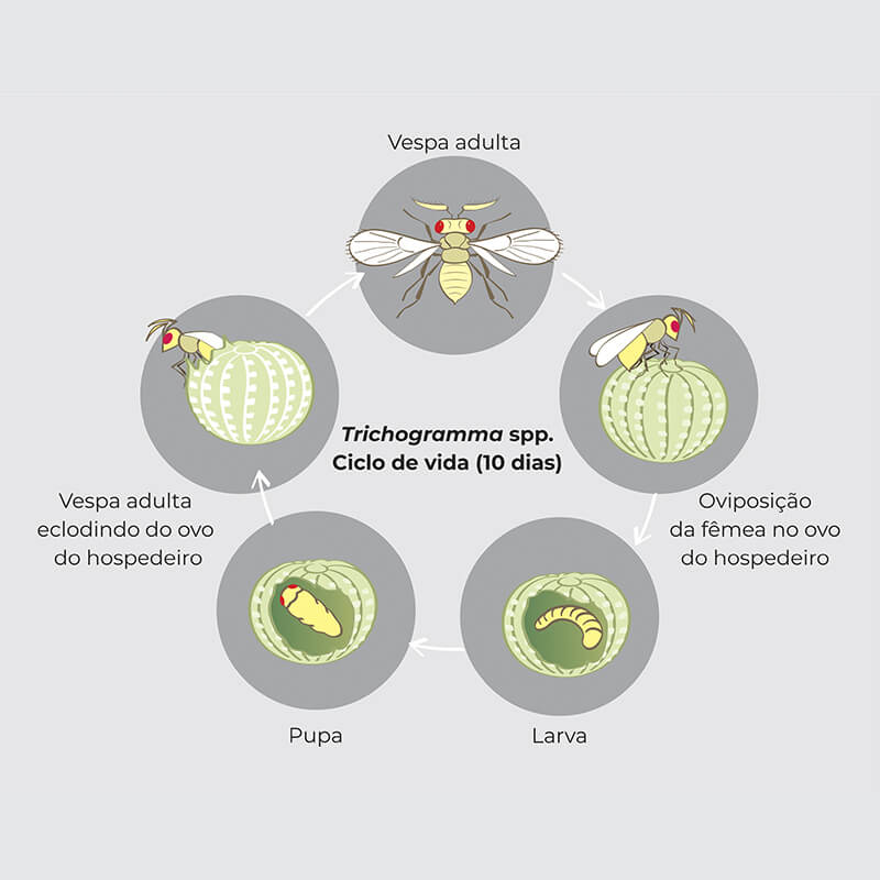 promip manejo integrado pragas controle biologico mip experience manejo pragas tomateiro ciclo