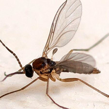 promip manejo integrado pragas controle biologico mip experience artigo fungus gnats adulto mobile