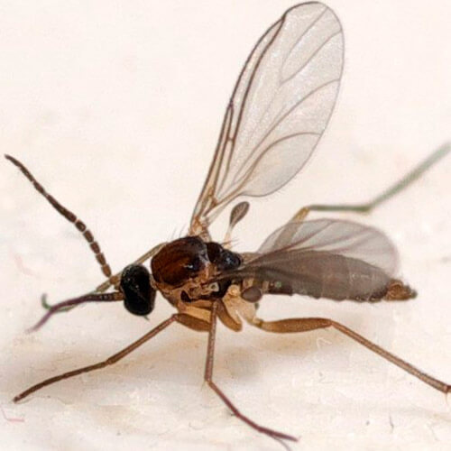promip manejo integrado pragas controle biologico mip experience artigo fungus gnats adulto