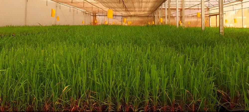promip manejo integrado pragas controle biologico mip experience artigo fungus gnats casa vegetacao