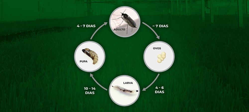 promip manejo integrado pragas controle biologico mip experience artigo fungus gnats ciclo