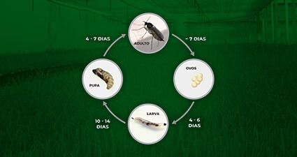 promip manejo integrado pragas controle biologico mip experience artigo fungus gnats ciclo mobile