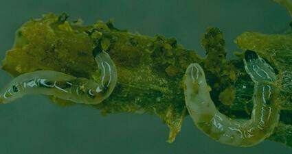 promip manejo integrado pragas controle biologico mip experience artigo fungus gnats header mobile