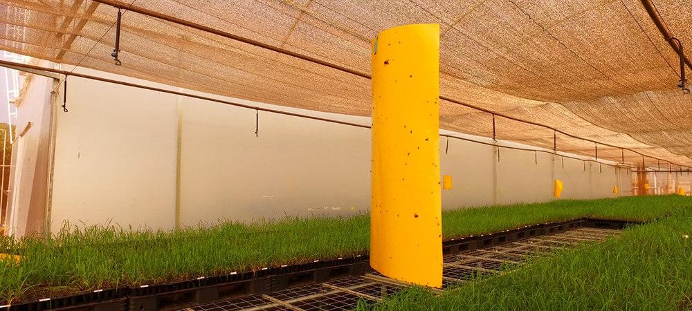 promip manejo integrado pragas controle biologico mip experience artigo fungus gnats monitoramento