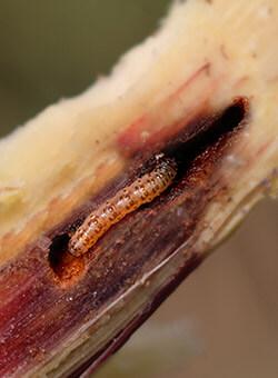 promip manejo integrado pragas controle biologico mip experience artigo lagarta diatraea saccharalis capa final