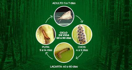 promip manejo integrado pragas controle biologico mip experience artigo lagarta diatraea saccharalis ciclo mobile