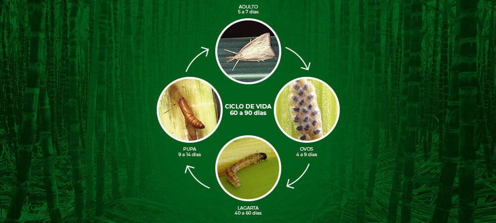 promip manejo integrado pragas controle biologico mip experience artigo lagarta diatraea saccharalis ciclo