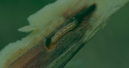 promip manejo integrado pragas controle biologico mip experience artigo lagarta diatraea saccharalis header mobile final