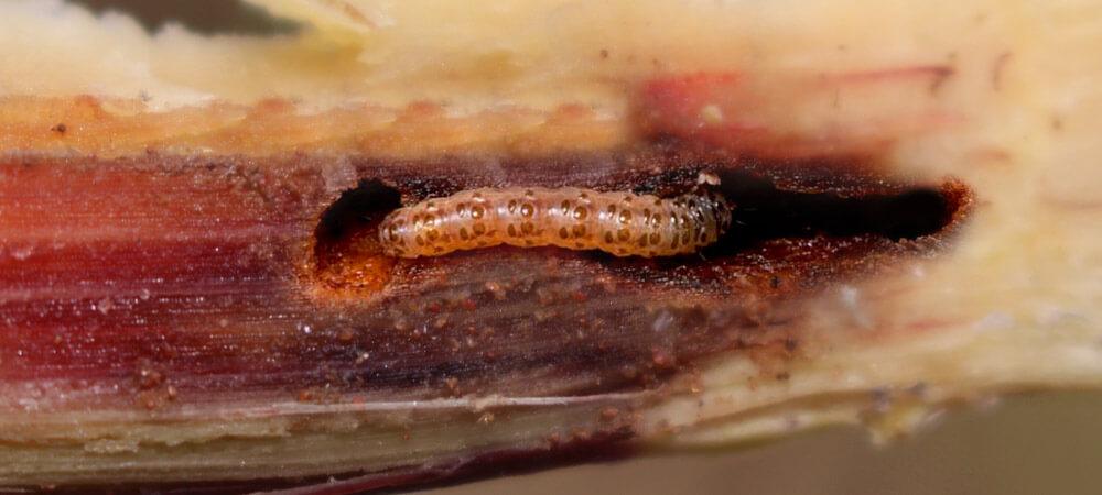 promip manejo integrado pragas controle biologico mip experience artigo lagarta diatraea saccharalis lagarta final