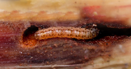 promip manejo integrado pragas controle biologico mip experience artigo lagarta diatraea saccharalis lagarta mobile final
