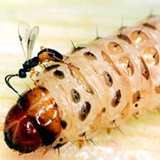 promip-manejo-integrado-pragas-controle-biologico-mip-experience-artigo-lagarta-diatraea-saccharalis-mip-cotesia-mobile-fin
